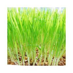 小麦草批发值得信赖 漳州小麦草批发行情